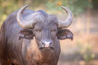 Young African buffalo starring at the camera.