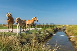 Braune Pferde auf einer Wiese vor blauem Himmel auf der Hallig Hooge in Nordfriesland, Deutschland