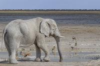 Elefant am Wasserloch, Etosha-Nationalpark