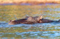 Hippo Hippopotamus Hippopotamus, Africa wildlife
