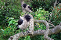 Two Young Hooded Crows Perched on Tree