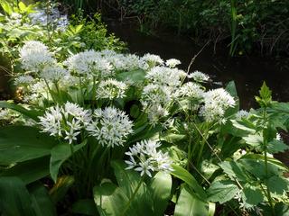 Bärlauch (Allium ursinum) - blühende Pflanzen
