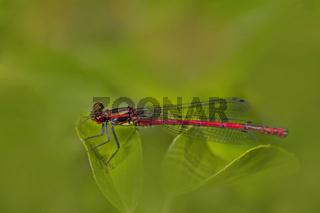 Frühe Adonislibelle 'Pyrrhosoma nymphula'