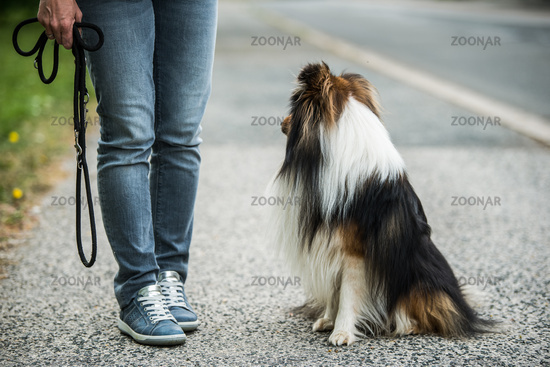 Sheltie dog sitting next to his owner