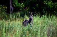 Zebra in high grass