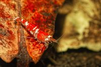Red crystal shrimp (Caridina cantonensis) in freshwatera aquarium