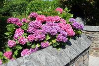 Hortensien in der Bretagne