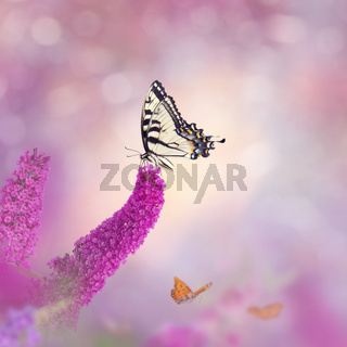 Swallowtail butterfly feeds on flowers