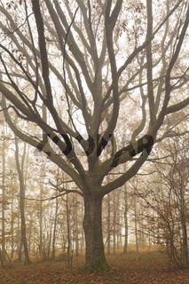 Eiche im Nebelwald zur Herbstzeit