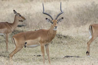 impala male standing between females in the savannah