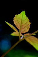 The leafs of climbing plant on black background