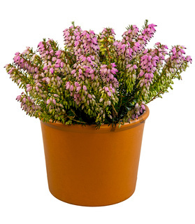 Isolated potted winter-flowering heather plant