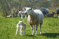 Junges neugeborenes Schaf mit Mutter
