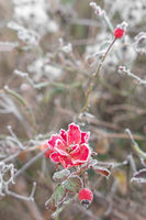 Red iced flower