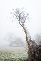 Trees in winter mist and fog