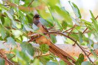 Speckled mousebird, Ethiopia wildlife