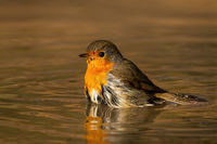 Lovely european robin bathing in water in sunny spring evening.