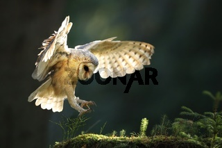 Barn owl landing on moss stone in summer sunlight.