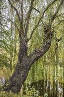 Chemnitz - Baum auf der Schlosteichinsel