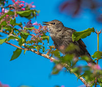 Young starling sitting in a flowering bush