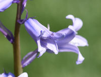 Hasengloeckchen, Hyacinthoides hispanica