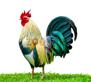 Isolated Rooster In The Grass
