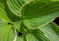 big green leaves closeup