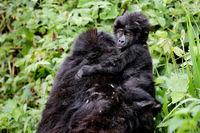 Junger Berggorilla im Bwindi Impenetrable Nationalpark Uganda (Gorilla beringei beringei)   Young Mountain Gorilla at Bwindi Impenetrable National Park Uganda (Gorilla beringei beringei)
