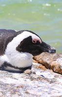 Afrikanischer Pinguin an der Boulders Beach am Kap in Südafrika