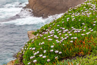 African daisy Cape marigold flowers on the shore
