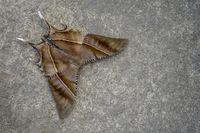 Top view of moth, Nagaland, India