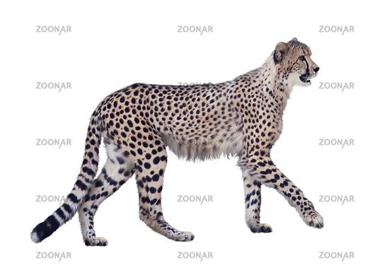 walking cheetah isolated on white