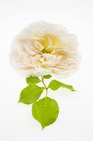 Rosenblüte freigestellt