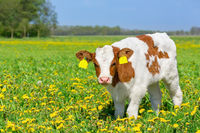 Close up Red Holstein calf in blooming pasture