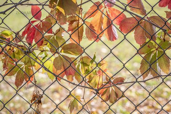 backlit vine leaves in fall colors