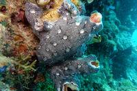 Seescheide Leptoclinides reticulatus