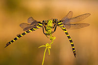 Pair of two dragonflies sitting close to each other in summer
