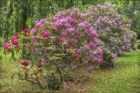 Rhododendronbuesche im Stadtpark von Muechberg