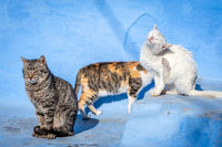 Cute feral cats in blue background, Chefchaouen, Morocco