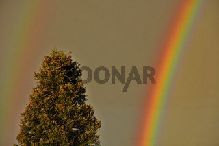 Regenbogen über einer Tanne