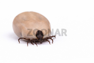 Tick (Ixodes ricinus) isolated on white