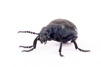 poisonous violet oil beetle isolated on white