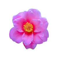 Pink Flower Top View Isolated Photo
