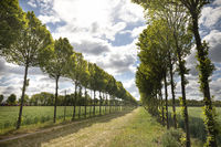tree rows in sunshine