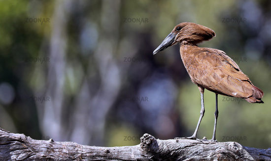 Hammerkopf, South Luangwa Nationalpark, Sambia, (Scopus umbretta)  |  hamerkop, South Luangwa NP, Zambia, (Scopus umbretta)