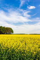 Blühendes Rapsfeld im Frühling an einem Tag mit blauem Himmel