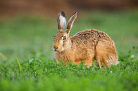 Brown hare looking on grass in springtime nature.