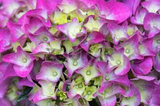 pink flower Hydrangea macrophylla in pot