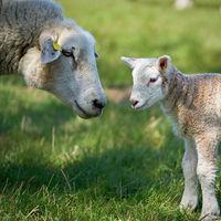 Mutterschaf mit einem neugeborenen Lamm