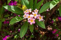 plumeria flower in nature garden